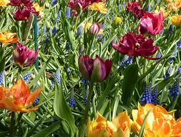 Mieszanka kolorowych kwiatów cebulowych