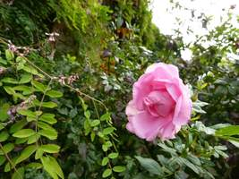 Rosa nn