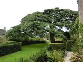 Old Garden z pochylonym cedrem