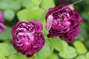 W ogrodzi pachniały prześliczne róże 'Toscany Superb' posadzone na obeliskach z ciemnymi powojnikami