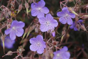 Bodziszek - Geranium pratense 'Midnight Reiter'