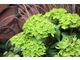 Hydrangea macrophylla  'Schloss Wackerbarth' SAXON ®