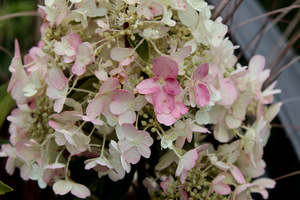 Hortensja bukietowa  - Hydrangea paniculata 'Candelight'