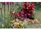 Kolorowe liście koleusów