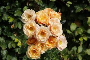 Intensywny kolor róż może nieco wyblaknąć jesienią