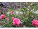 Róże i werbena patagońska