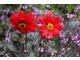 Dalie o ciemnych, prawie czarnych liściach i prawdziwie czerwonych kwiatach