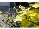Żółte dalie, w dodatku z ciemnym listowiem, to rarytas