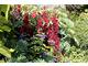 Czerwone kwiaty lobelii szkarłatnej