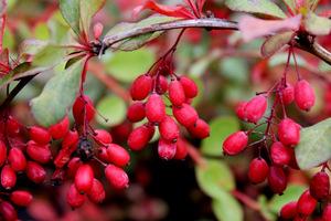 Owoce berberysu