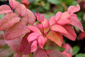 Liście mahonii