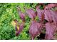 Zadrzewnia okazała - Diervilla ×splendens
