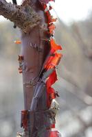 Barwne przetchlinki u wiśni ozdobnej