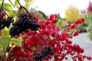 Owoce czarnego bzu a w tle liście trzmieliny oskrzydlonej
