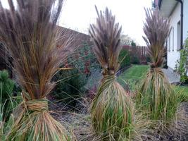 Wiążemy ozdobne trawy, aby lepiej ochronić je przed mrozem i wilgocią