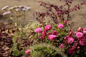 Podczas ciepłego listopada kwitną jeszcze róże