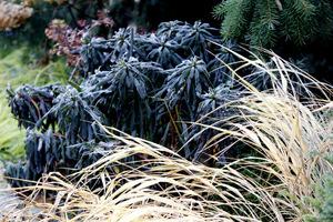 Jesienna szata wilczomlecza i trawy Hakonechloa macra