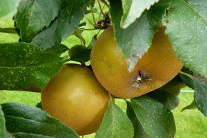 Zdrowy owoc