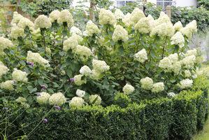 Lato sierpniowe i wielkie kwiatostany hortensji 'Limelight'