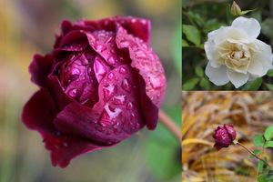 Listopadowe róże