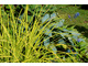 Turzyca o żółtych liściach (Carex elata 'Aurea')