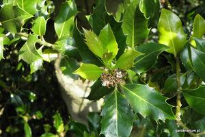 Kwiaty ostrokrzewu są drobne, białe, pachnące i pojawiają się w maju
