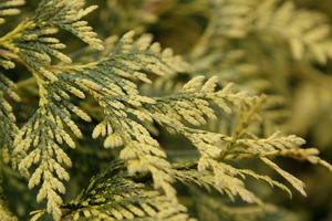 Thuja occidentalis 'Yellow Ribbon'