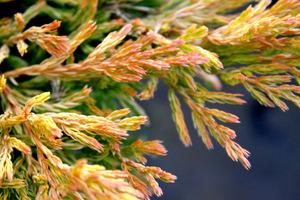 Juniperus horizontalis 'Limeglow' po przymrozkach