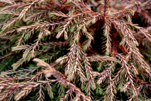Thuja occidentalis 'Golden Tuffet' jesienią