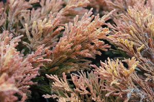 Juniperus horizontalis 'Limeglow' zimą