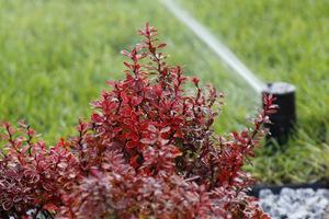 Trawnik podlewa się przy pomocy zraszaczy wynurzalnych