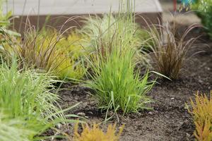 Rośliny o charakterze preriowym nie wymagają systematycznego podlewania