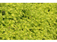 Oregano żółte (Origanum vulgare 'Thumbles Variety')