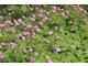 Niskie bodziszki (Geranium oxonianum 'Rose Clair') mają zaletę - kwitną i niektóre ładnie pachną przy dotyku