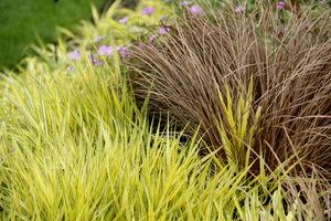 Trawy w towarzystwie turzyc (Carex flagellifera) - barwne i atrakcyjne zestawienie