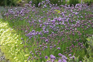 Szczypiorek siedmiolatka jako namiastka trawnika