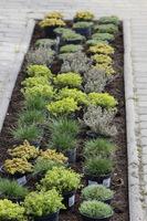 Po przekopaniu gleby, ustawiamy próbnie wszystkie rośliny