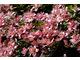 Clematis montana 'Broughton Star'