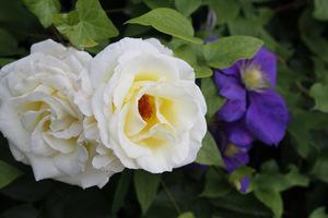"""Róża """"Chopin' i powojnik"""