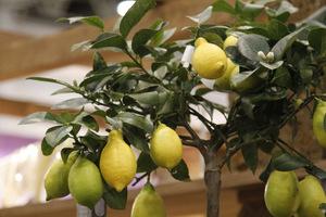 Cytryna w donicy