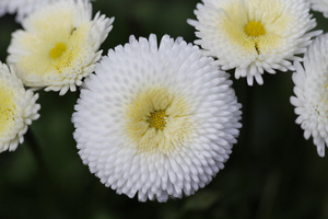 Białe lub różowe stokrotki