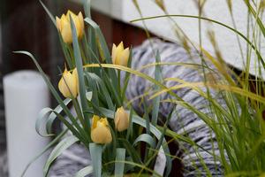 Wczesne tulipany