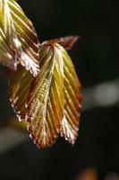 Młode liście buka