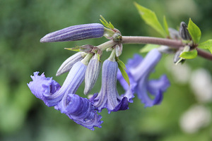 Clematis heracleifolia 'Cassandra'
