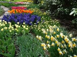 Taka ilość kwiatów cebulowych wiosną wymaga sporego wysiłku jesienią, no i kosztów