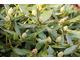 Pękają pąki różaneczników, suche i pylące usuwamy