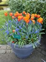 Jedna z propozycji obsadzeń donic roślinami cebulowymi: pomarańczowe tulipany i niebieskie szafirki