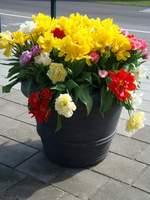 A tutaj różnokolorowe tulipany