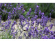 Lawenda to sztandarowa roślina ogrodów o charakterze śródziemnomorskim