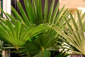Palmy ustawiamy na tarasie w donicach